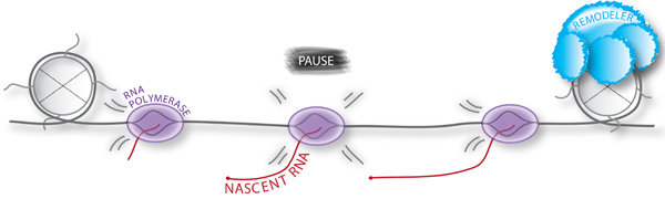 Max Planck Research Group Nascent Transcription & Cell Differentiation