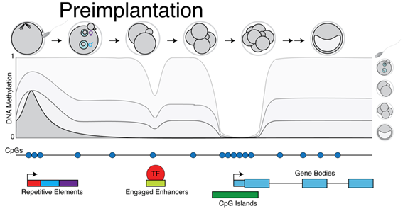 DNA methylation dynamics in pre- and post-implantation development   Transition from DNA methylation independence to dependence