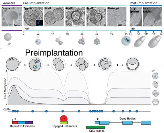 Early development | Max Planck Institute for Molecular Genetics