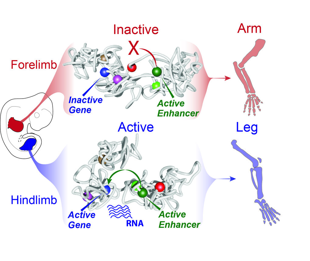 Chromatin-Struktur legt Enhancer still